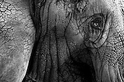 """The Memphis Zoo's elephant matriarch """"Tyranza,"""" or """"Ty"""" for short is the oldest African Elephant in North America according to the Memphis Zoo."""