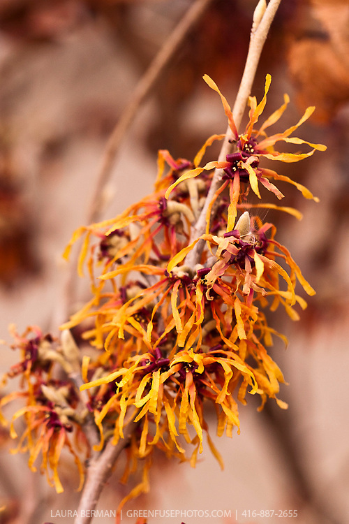 Diane Witch hazel (Hamamelis x intermedia 'Diane')