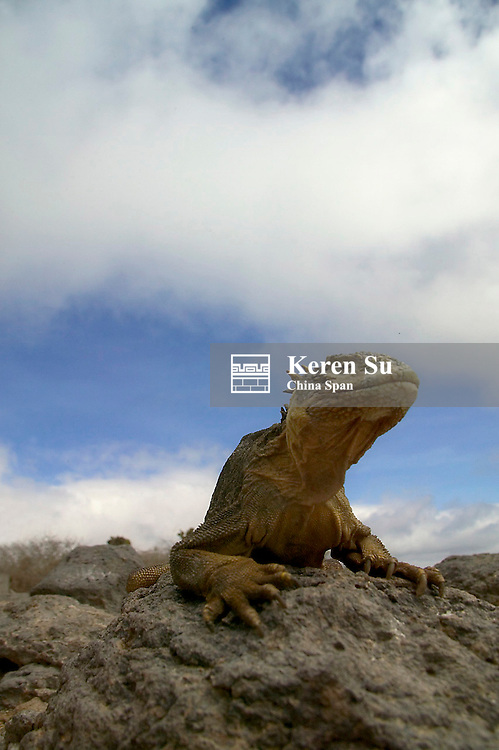 Marine iguana on Galapagos Islands, Equador