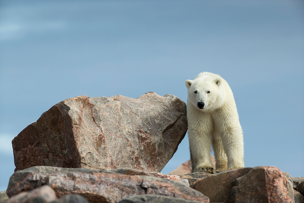 Canada, Nunavut Territory, Repulse Bay, Polar Bear (Ursus maritimus) standing along rocky coastline along Hudson Bay near Arctic Circle