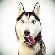 American Husky dog.