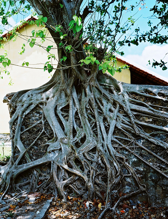Fig tree roots overcome the crumbling walls of old French colonial buildings.