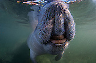Close up of manatee mouth at surface in Crystal River, FL