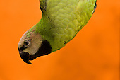 Mustache Parakeet (Parrot) Pictures - Photos
