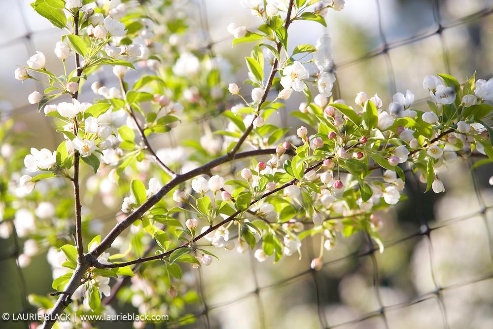 Crabapple blossom detail