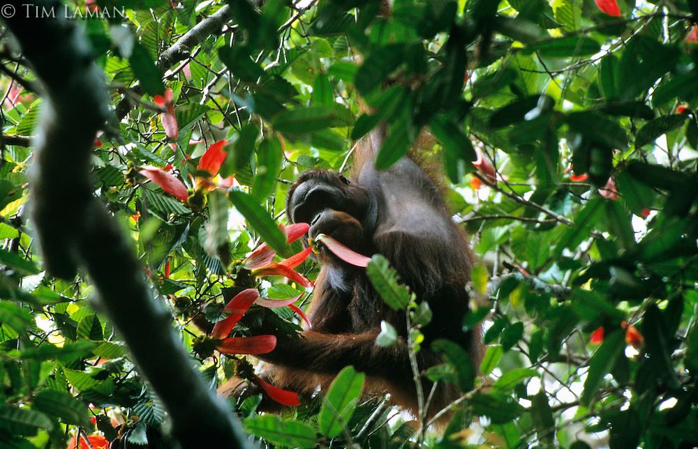 Young male Bornean Orangutan (Pongo pygmaeus) feeding on the seeds of Dipterocarpus sublamellatus tree, one of the masting dipterocarp trees. Gunung Palung National Park, West Kalimantan, Indonesia.