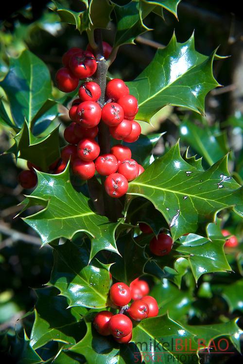 Holly, or European Holly (Ilex aquifolium) with red fruits.<br /> Gorbeia Natural Park. Alava, Basque Country, Spain, Europe.