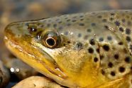Montana Flyfishing Madison River