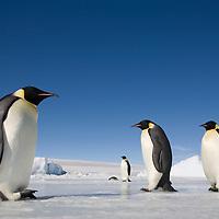 Antarctica, Snow Hill Island, Emperor Penguins (Aptenodytes forsteri) on frozen sea ice on sunny afternoon