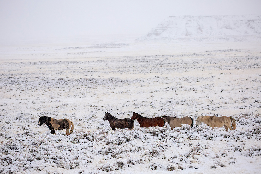 With the stallion, Washakie, in the lead, a band of wild horses braves the winter weather at McCullough Peaks Herd Management Area.