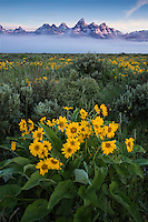Sunrise light on the Tetons with balsamroot in the foreground, Grand Teton National Park, Wyoming