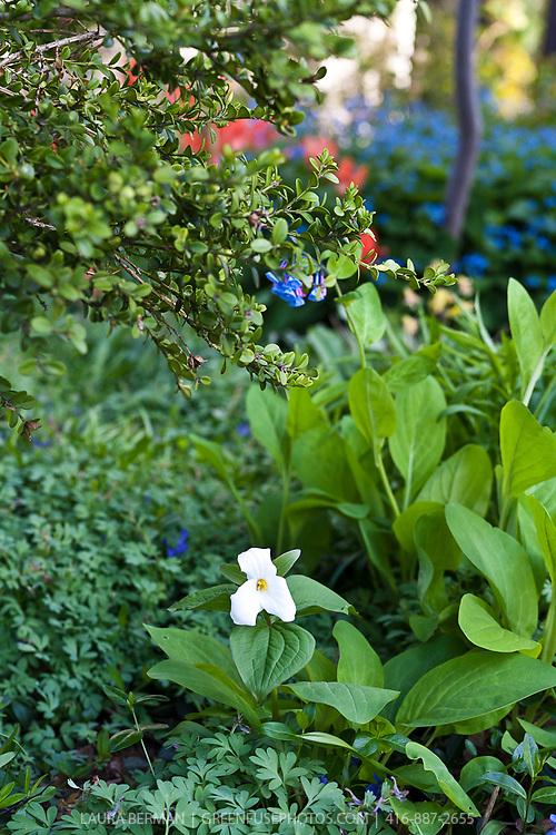 White Trilliums (Trillium grandiflora) a native North American perennial, growing in an urban garden.