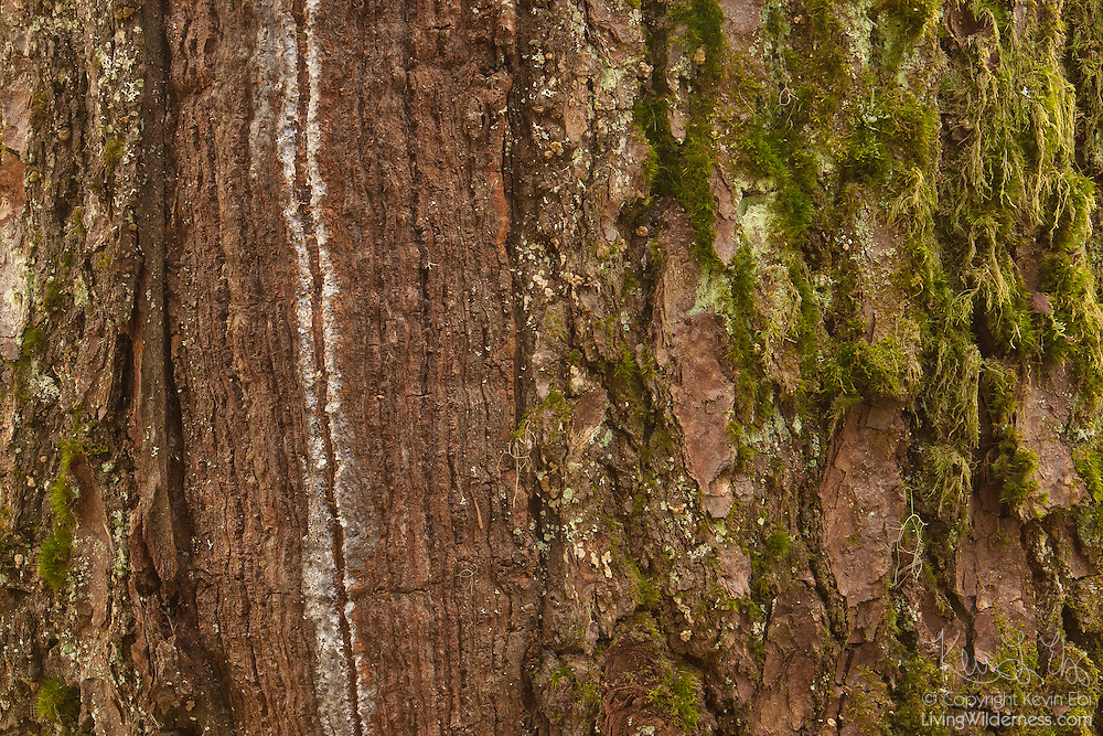 This long, narrow scar on a tree trunk, known as a frost crack, was the result of rapid temperature change. Rapid cooling causes the bark to contract faster than the wood inside, ripping open the bark. When this happens, it can make a loud explosive sound, similar to a rifle shot.