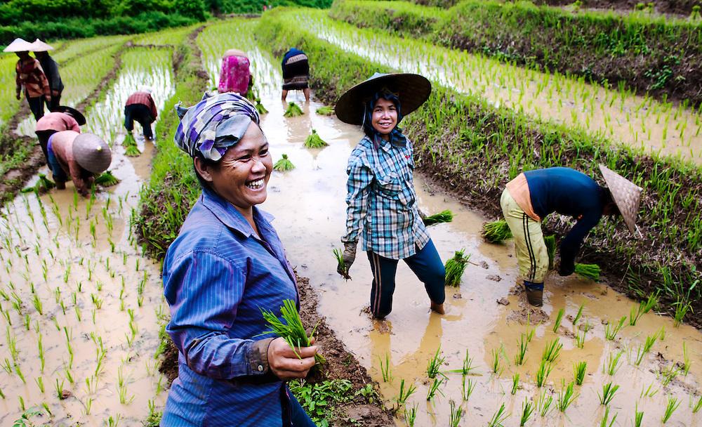 Women plant rice seedlings near Luang Prabang, Laos.