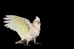 [captive] Reasearch on the cognitive abilities is done in the Goffin Lab (Lower Austria) by Alice M. I. Auersperg. Goffin's cockatoos or Tanimbar Corellas (Cacatua goffini) are endemic to an island archipelago in Indonesia. Their exploration seems to be reinforced by the movability of the respective affordances and involves both, bill and feet. | Der Goffinkakadu (Cacatua goffiniana) ist eine Papageienart und kommt in freier Wildbahn ausschließlich auf der indonesischen Inselgruppe Tanimbar vor. Diese Aufnahmen wurden in Gefangenschaft aufgenommen.