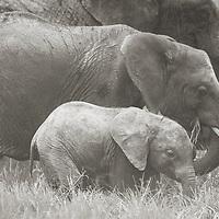 Elephant family grazing, Ol Pejeta Conservancy, Kenya
