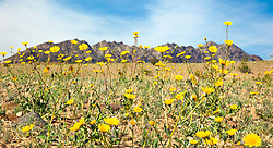 """""""Death Valley Wildflowers 3"""" - Photograph of yellow wildflowers in Death Valley, near the Ibex Dunes area."""
