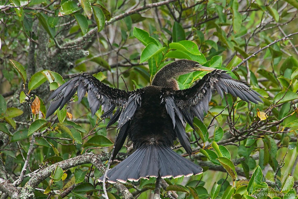 An anhinga (Anhinga anhinga) dries its wings near a large pond in the Florida Everglades. The anhinga's feathers do not have protective oils for waterproofing like other birds. That lack of oil allows the anhinga to dive deep for fish, however, it must dry its wings after entering the water in order to fly well..