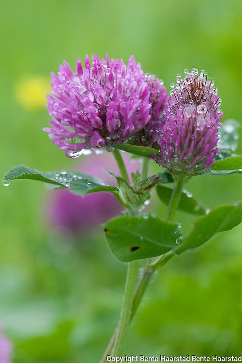 Rødkløver etter regn. Trifolium pratense, red clover.