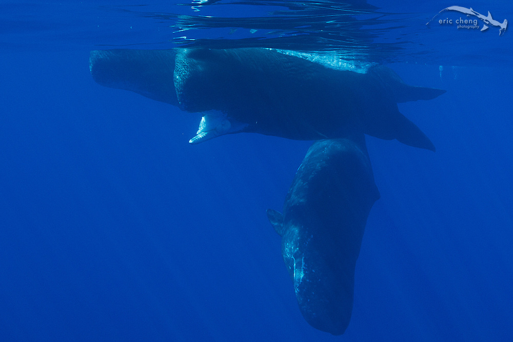 A pod of sperm whales (Physeter macrocephalus) in the Ogasawara Islands, Japan. The lead sperm whale has the carcass of a giant squid (Architeuthis dux) in her mouth.