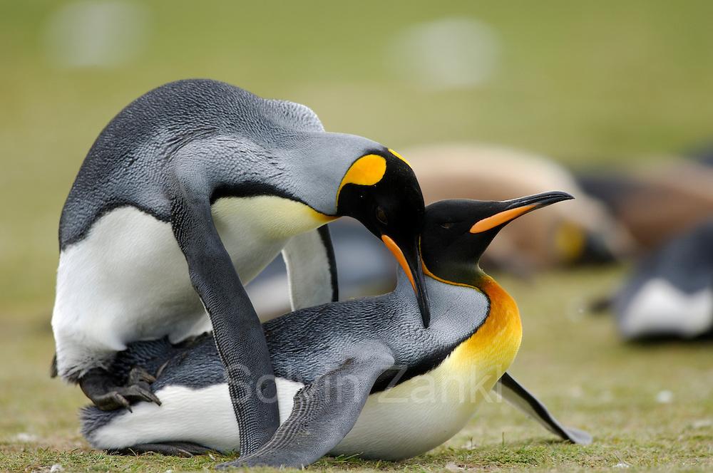 Wie auch bei anderen Pinguinarten ist es bei den Königspinguinen (Aptenodytes patagonicus) fast unmöglich, Männchen und Weibchen am äußeren Erscheinungsbild zu unterscheiden. Während der Paarung allerdings ist das Geschlecht eindeutig zu bestimmen. | As in the other species of penguins it is nearly impossible to tell the female and male king penguin (Aptenodytes patagonicus) apart. During mating, however, the genders can be clearly distinguished.