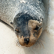 "Beach sand clings to a Galápagos Sea Lion (Zalophus wollebaeki) on Gardner Bay, a wet landing location on Española (Hood) Island, Galapagos Islands, Ecuador, South America. This mammal in the Otariidae family breeds exclusively on the Galápagos Islands and in smaller numbers on Isla de la Plata, Ecuador. Being fairly social, and one of the most numerous species in the Galápagos archipelago, they are often spotted sun-bathing on sandy shores or rock groups or gliding gracefully through the surf. They have a loud ""bark"", playful nature, and graceful agility in water. Slightly smaller than their Californian relatives, Galápagos Sea Lions range from 150 to 250 cm in length and weigh between 50 to 400 kg, with the males averaging larger than females. Sea lions have external ear-like pinnae flaps which distinguish them from their close relative with whom they are often confused, the seal. When wet, sea lions are a shade of dark brown, but once dry, their color varies greatly. The females tend to be a lighter shade than the males and the pups a chestnut brown. In 1959, Ecuador declared 97% of the land area of the Galápagos Islands to be Galápagos National Park, which UNESCO registered as a World Heritage Site in 1978. Ecuador created the Galápagos Marine Reserve in 1998, which UNESCO appended in 2001."