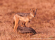 Black-backed Jackals at sunrise in the Masai Mara National Reserve in Kenya.