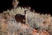 UT00134-00...UTAH - Mule deer in Aeches National Park.