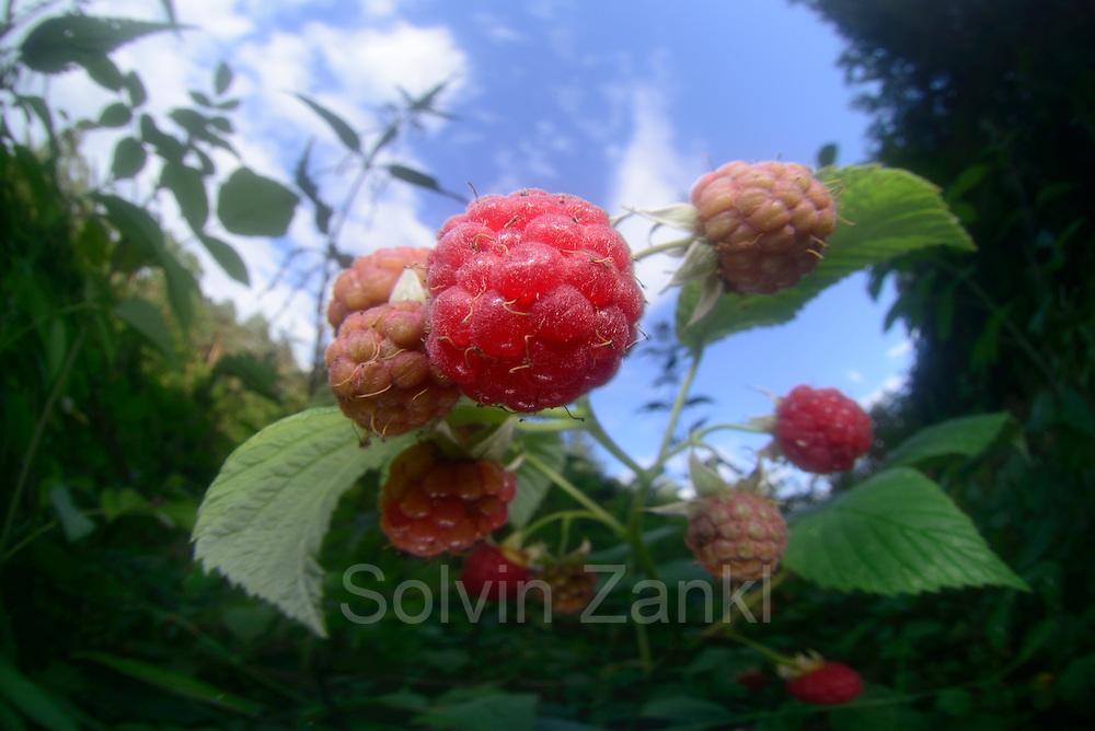 Wilde Himbeere (Rubus idaeus) Früchte