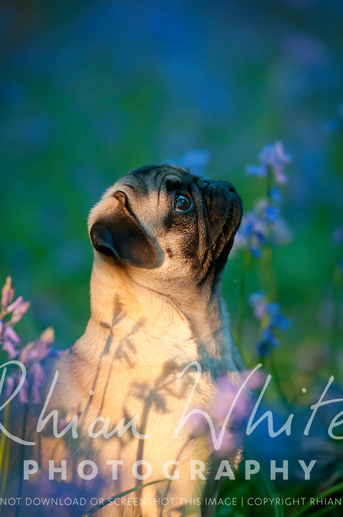 Pictures of Effy and Dudley, two pug puppies, at Stanmer Park in a field of Bluebells.