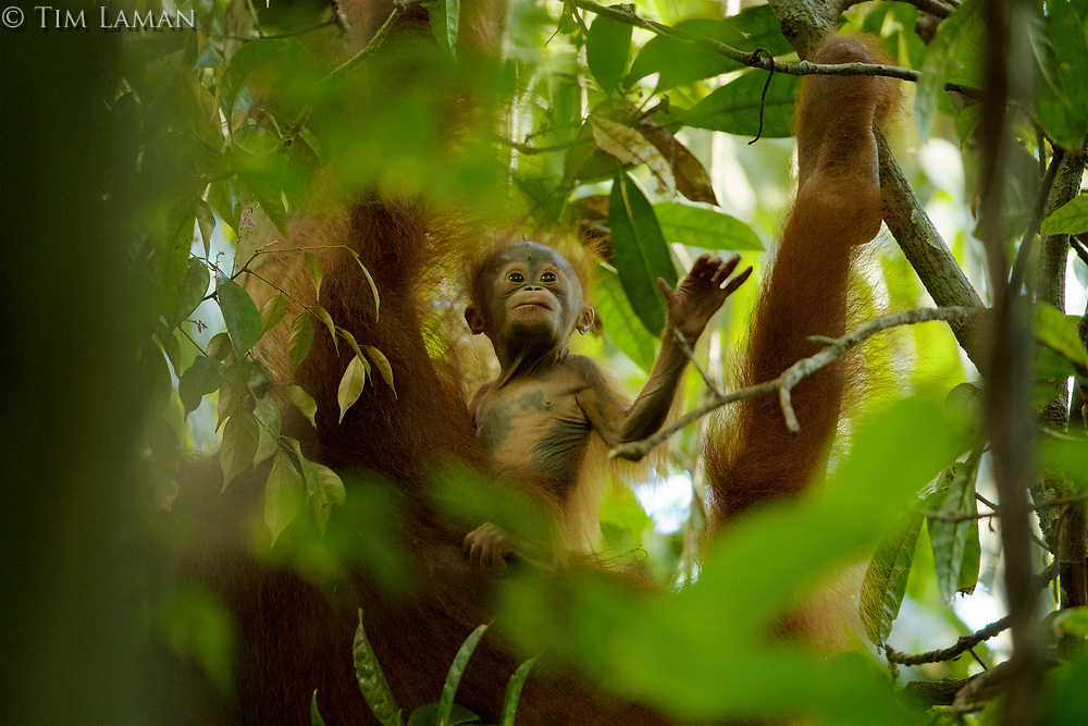 Adult female Walimah with one month old infant.<br />Baby looking around from a perch on mom's side while mom is feeding.<br /><br />Bornean Orangutan <br />Wurmbii Sub-species<br />(Pongo pygmaeus wurmbii)<br /><br />Gunung Palung Orangutan Project<br />Cabang Panti Research Station<br />Gunung Palung National Park<br />West Kalimantan Province<br />Island of Borneo<br />Indonesia