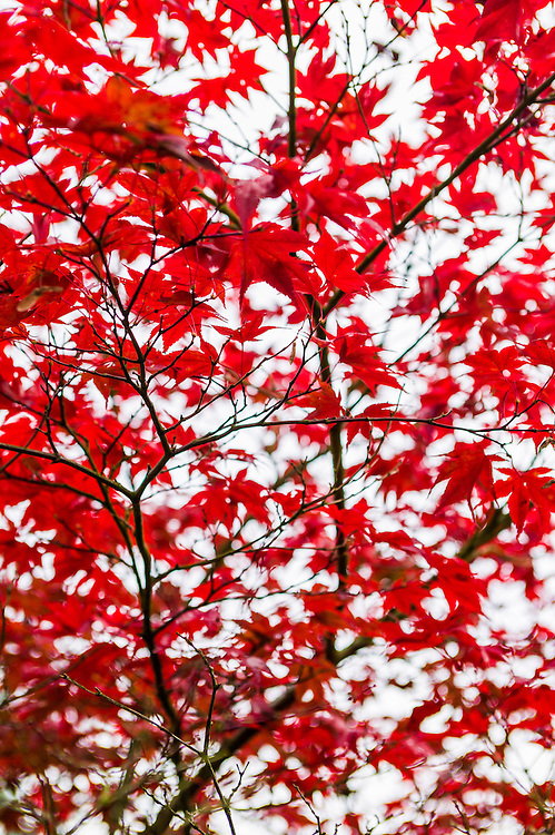 """""""Red Flight"""" - Fine Art Limited Edition print. 20 Prints. Maple Tree in Fall colors near Discovery Park, magnolia, Seattle, Washington."""
