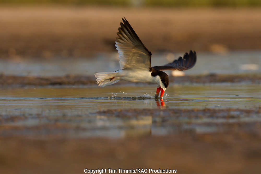 Black Skimmer, Rynchops niger, Bryan Beach, Texas gulf coast, skimming with beak in water, splashing water