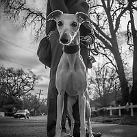 "Veronica Saleh with her Whippet, Andretti, on a morning  Valentines Day walk  in Calistoga   ""Our home is in Palo Alto, though we often stay at our home here in Calistoga."""