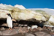 Gentoo penguin near melting ice, Pygoscelis papua, Cuverville Island, Antarctica