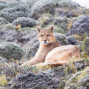 Under a light snow we discovered -not far away from our trekking trail- a solitary puma watching attentively around him.<br /> Puma (Puma concolor)<br /> Picture taken in Torres del Paine, Chile.<br /> Canon EOS-1D Mark IV+EF 100-400 mm f/4.5-5.6L IS II USM+1.4x<br /> Shot at 560 mm<br /> 1/160 s at f/8.0; +2/3 EV <br /> ISO 3200<br /> 4675x3117 (originally 4896x3264)<br /> No post-processing beyond lens profile and minor dust spotting, global saturation, exposure adjustment, noise reduction, sharpening and cropping.