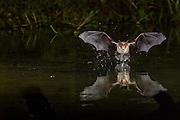 bat, drinking, Arizona; Southern Arizona