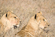 Young cubs waiting patiently for an invitation from their mother to enjoy a petite repast of warthog.