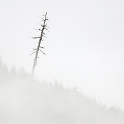 A very tall snag leans above the fog on Jackman Ridge in the North Cascades of Washington state.