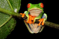 Red-eyed Tree Frog (Agalychnis callidryas), rainforest, La Selva Biological Station, Costa Rica    Biologische Forschungsstation La Selva, Costa Rica