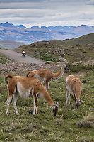 Cyclist in the background and guanacos in the foreground, Torres del Paine National Park, Chile