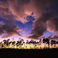 A line of slash pine trees is silhouetted against the western sky at sunset in the Long Pine Key section of Everglades National Park, Florida.<br />