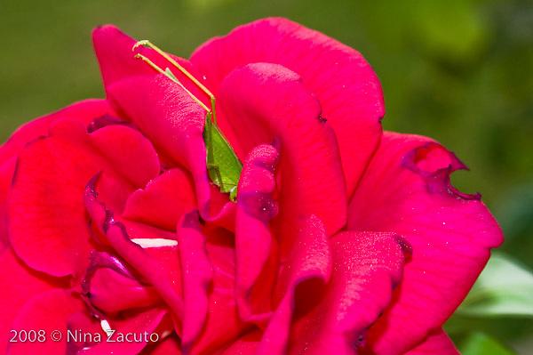 Grasshopper buried into a rose.