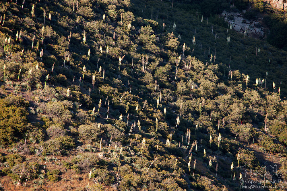 Hundreds of yuccas known as Our Lord's Candle (Yucca whipplei) bloom at Yucca Point in Kings Canyon National Park, California. The yuccas can grow to be six feet (2 meters) tall. Its blooming season runs from April through June.
