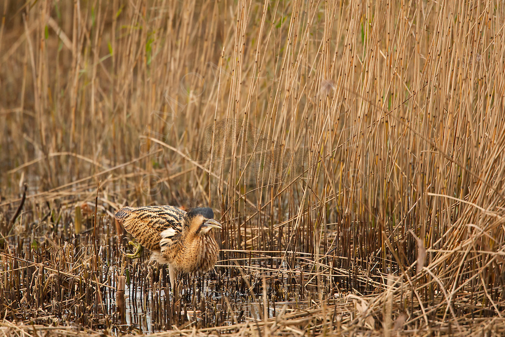 Great Bittern (Botaurus stellaris) adult, walking through cut reedbed, Norfolk, UK.