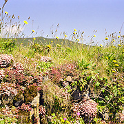 Wildflowers in bloom on an old stone wall, St Agnes Beacon, Cornwall, UK