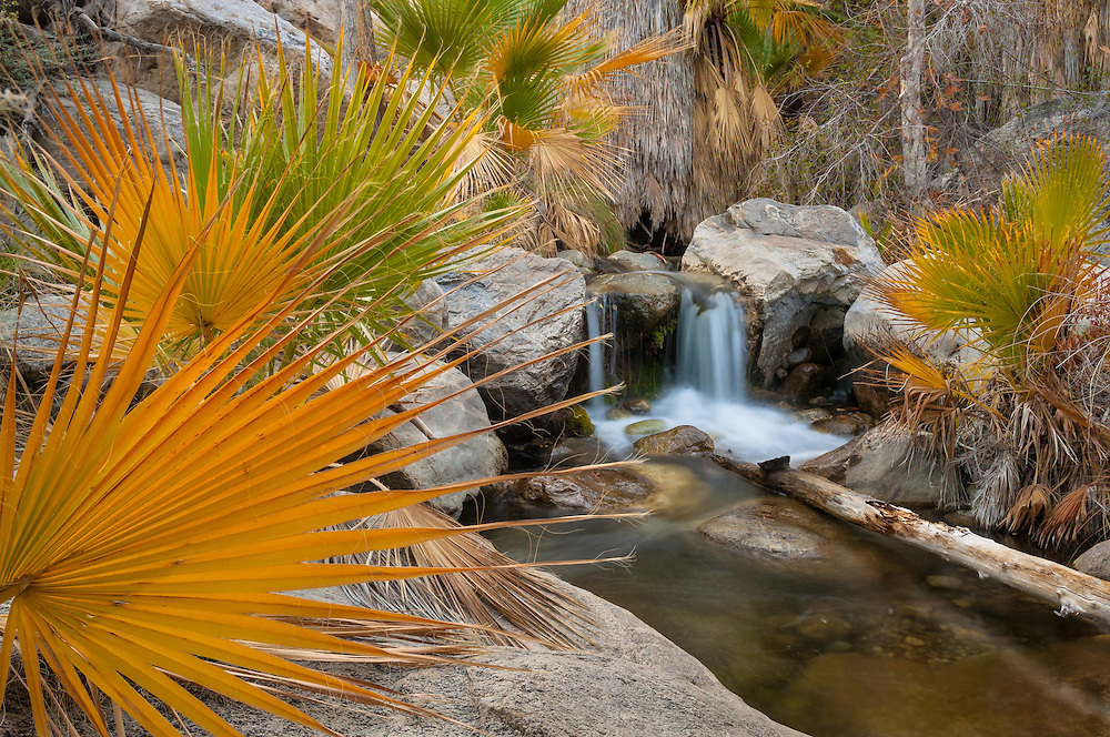 California fan palm trees along creek in Andreas Canyon, one of the Indian Canyons on the Agua Caliente Indian Reservation near Palm Springs, California.