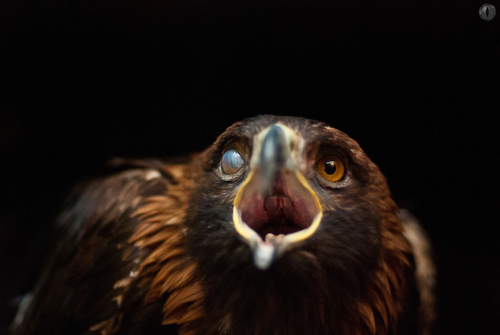 A captive golden eagle with one eye blinking, taken in a box.