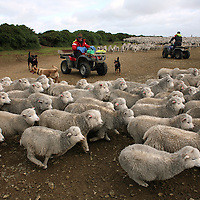Chilean workers round up sheep on 4X4's in Goose Green, in the Falkland Islands, on Friday, March 23, 2007. This year is the 25 anniversary of the war for sovereignty of the islands between the United Kingdom and Argentina. The two-month war resulted in the withdrawal of Argentinean forces and the islands remained part of the United Kingdom. After the war on the islands there has been strong economic development. (Photo/Scott Dalton)