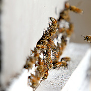 Colony collapse disorder (CCD) in bees threatens not only the U.S. food supply, but the whole world.